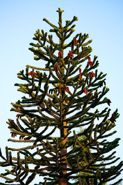 Araucaria Araucana tree